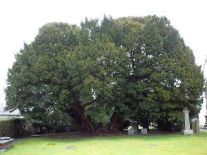 The Llangerny Yew - photo Emgaol (2010) used under Creative Commons License