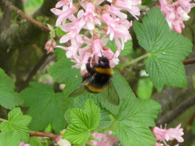 one of at least one hundred enjoying a flowering currant  bush in the garden