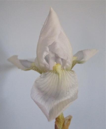fleur de lys 2