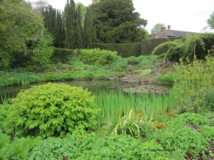 Wild Garden Pond with Ancient Yew at centre back of photograph