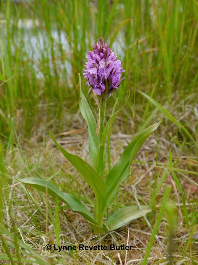 orchid near the wild garden pond