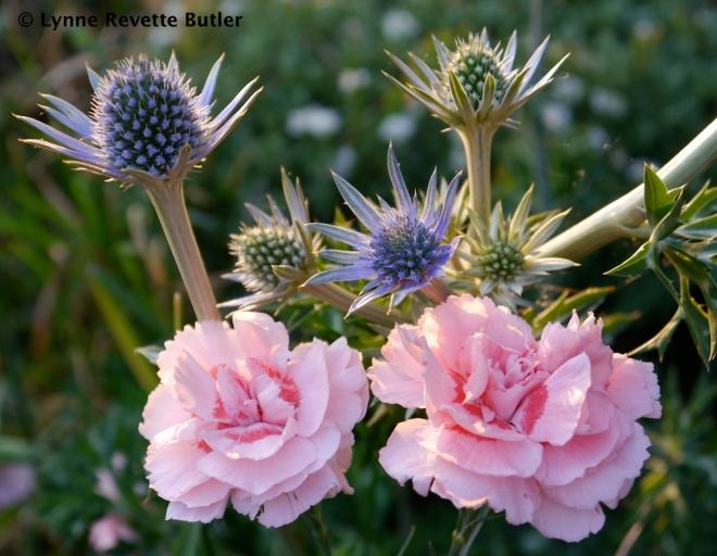 """Eryngium bourgattii & Dianthus 'Doris"""""""