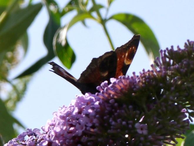 buddleiabutterfly1