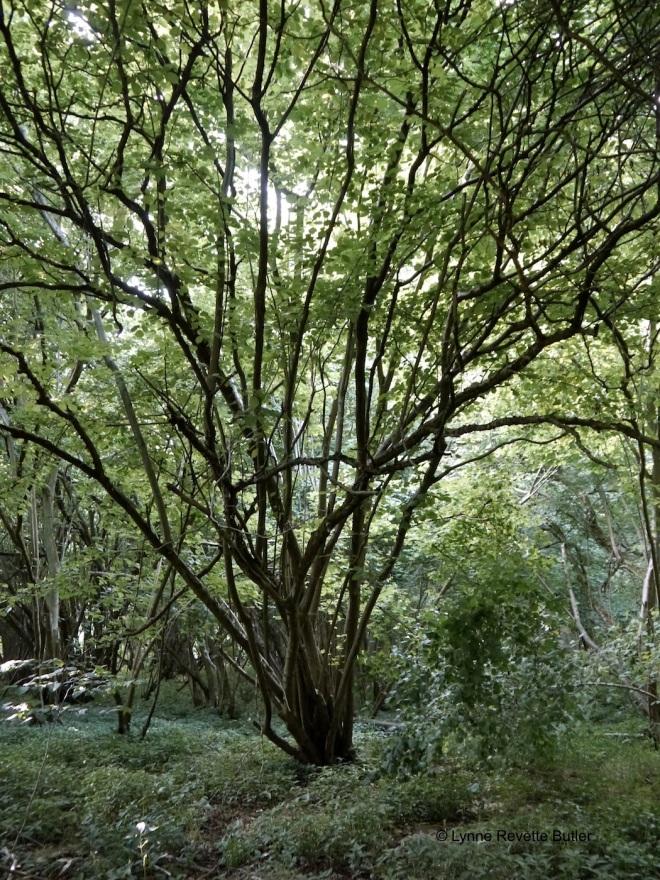 cowood 2