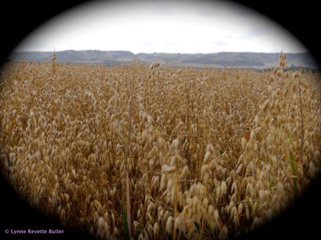 oats 1