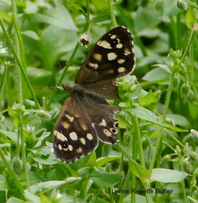 speckled wood2
