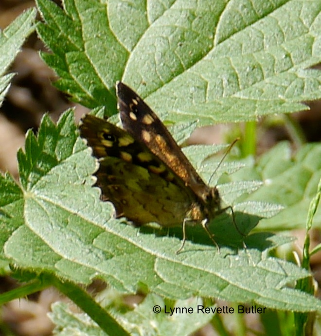 speckled wood3